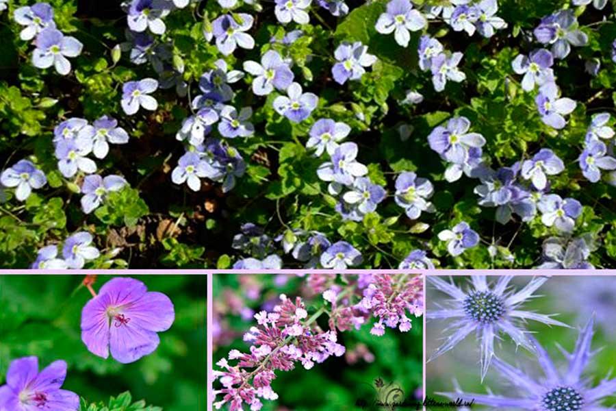 Неприхотливые многолетние цветы для дачи. Часть 2