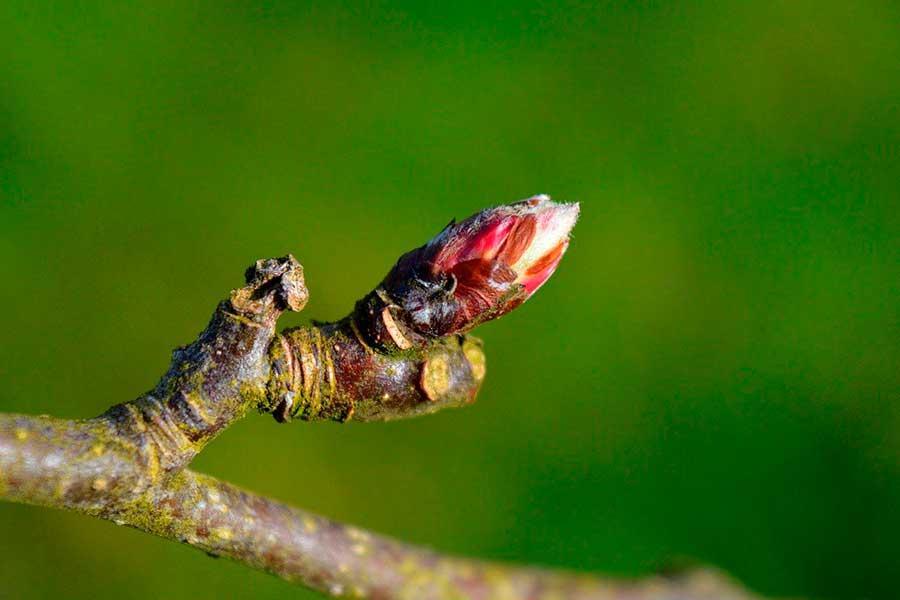 Обрезка молодой яблони, формирование кроны