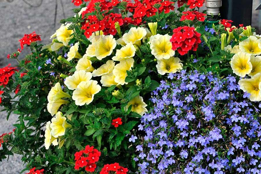 Однолетние цветы для сада - 12 лучших и любимых - Мир Садоводства