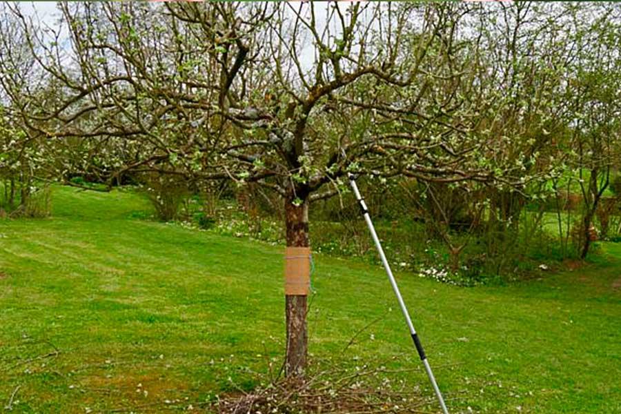 Основные виды обрезки плодовых деревьев