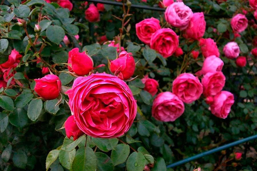Полиантовые розы, описание, посадка, уход, фото