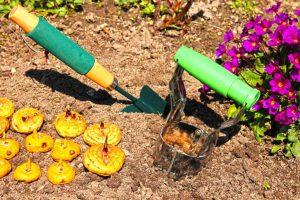 Посадка гладиолусов и их выращивание