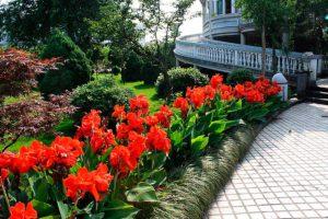 Посадка канны и уход за ней, тропический цветок в нашем климате