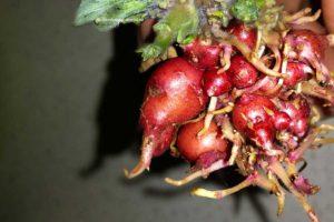 Посадка картофеля ростками - это богатый урожай при недостатке посадочного материала