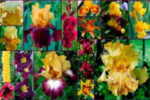 Сочетание ирисов с другими цветами, фото