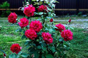 Хранение роз длительное время свежими