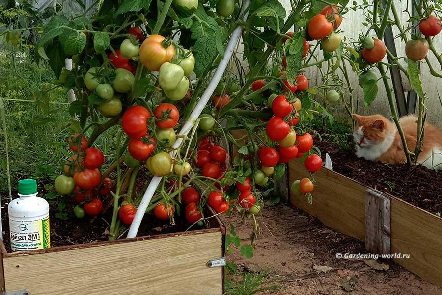 Байкал ЭМ1 - удобрение и защита растений