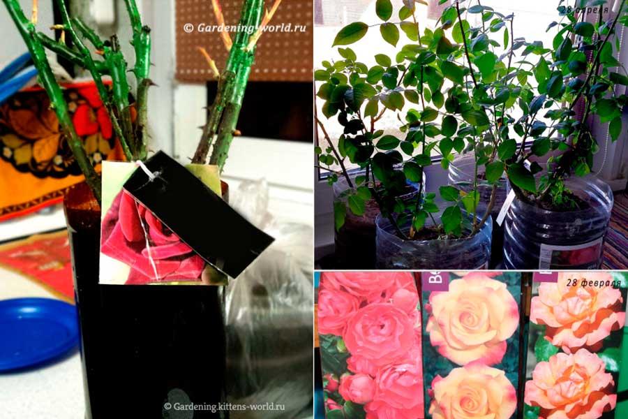 Как сохранить розы в картонной коробке до посадки в открытый грунт