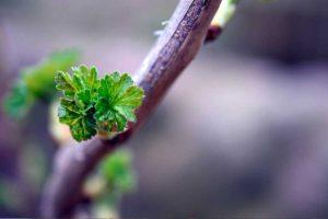 Обрезка черной смородины ранней весной