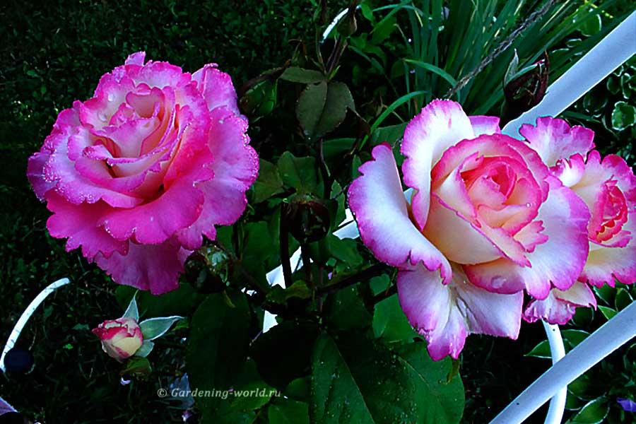 Как ухаживать за розами - основные правила в одной статье