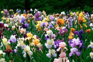 Уход за ирисами весной