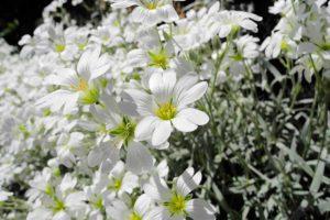 Выращивание ясколки - посадка, обрезка, место в цветнике