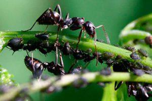 Как избавиться от тли и муравьев без химии