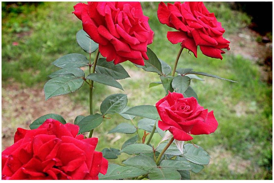 Весенние работы с розами