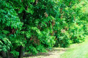 Санитарная обрезка и обработка деревьев и кустарников