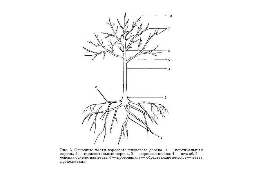 Обрезка вишни формирование кроны