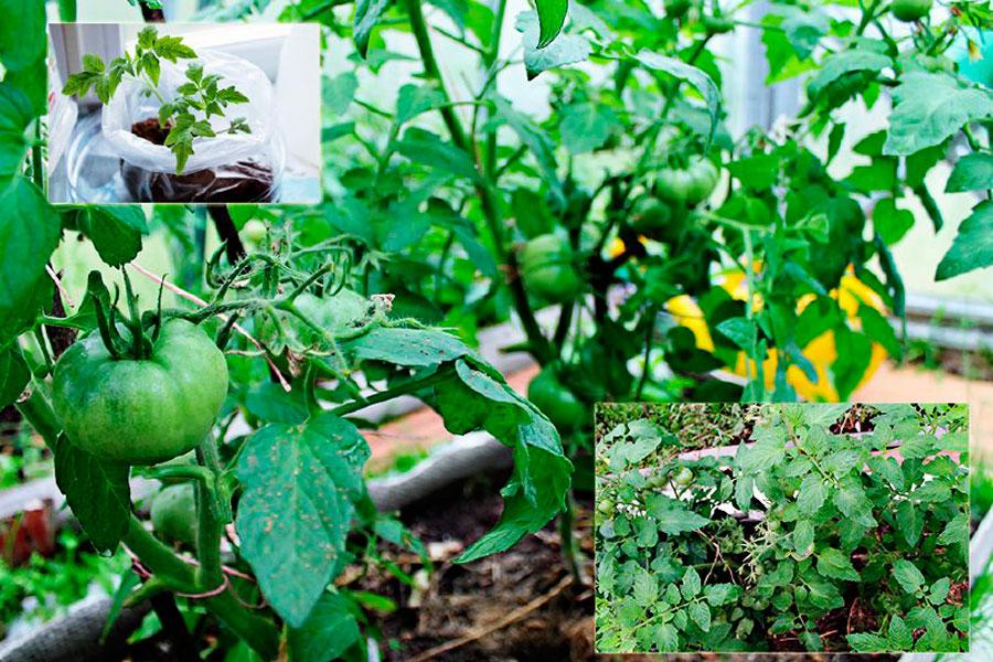плюсы и минусы в выращивание рассады