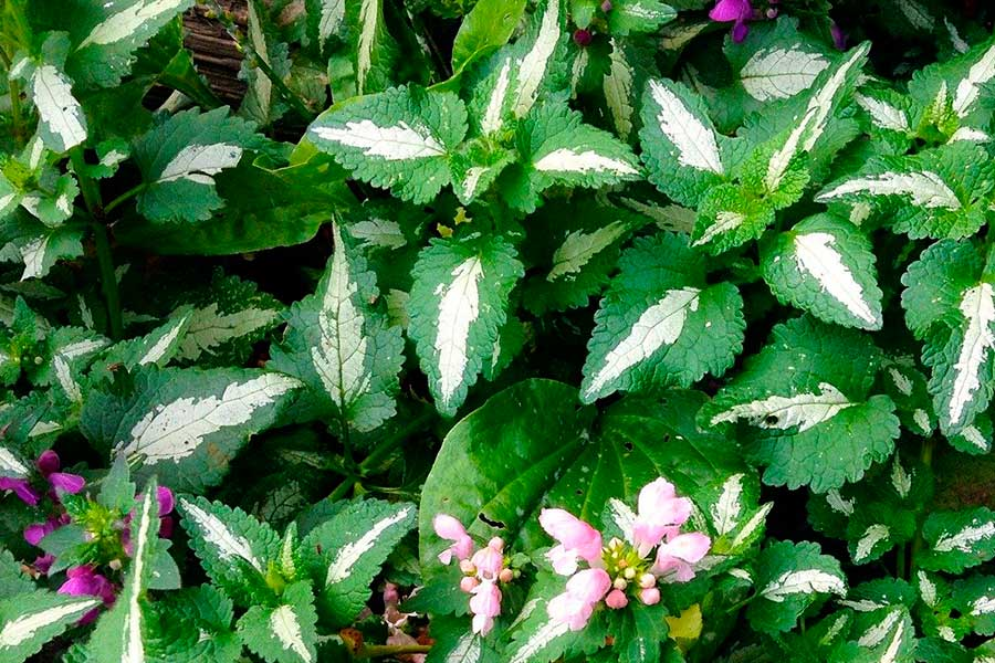 Декоративные почвопокровные растения