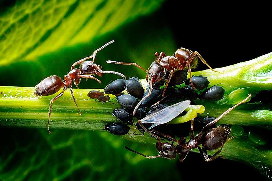 Защита от тли и муравьев - 5 простых способов