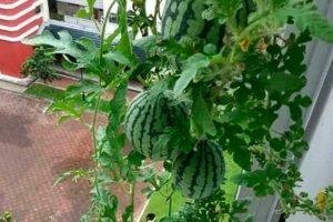 Как вырастить арбуз в домашних условиях, на балконе, в контейнере