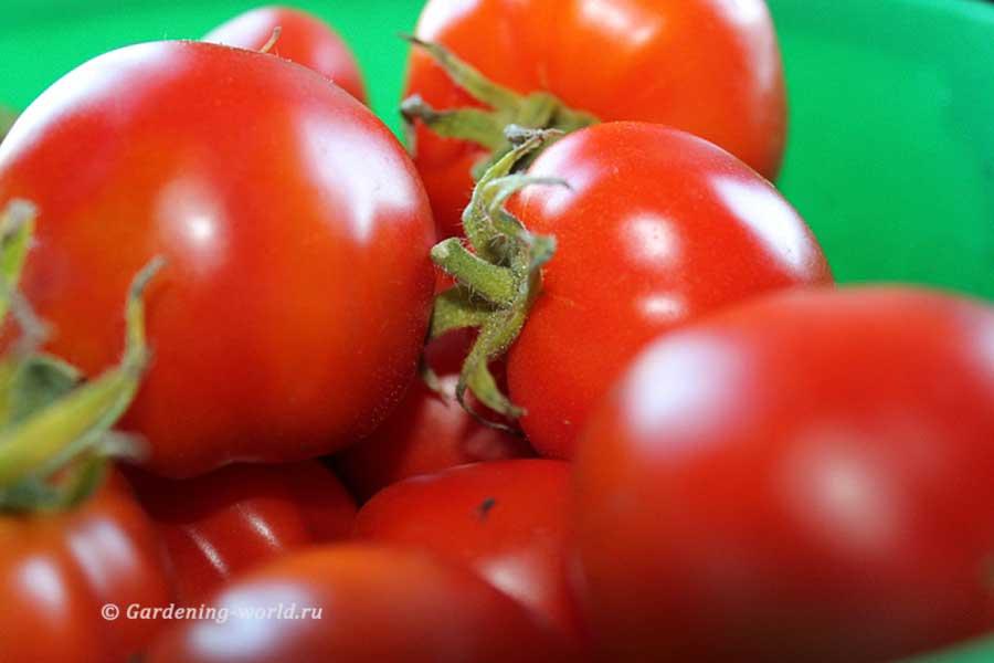 Как вырастить здоровые томаты - 3 основных правила