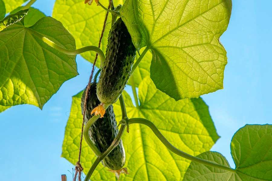 Как определить по листьям огурцов, чего не хватает