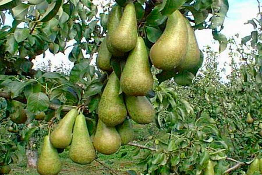 Как посадить дерево грушу весной