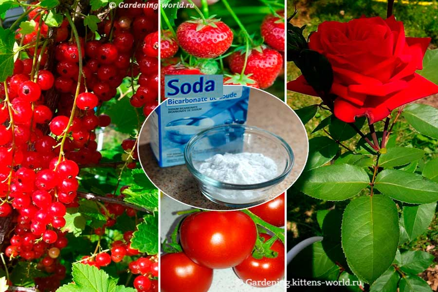 Как с помощью соды помочь растениям в саду и огороде