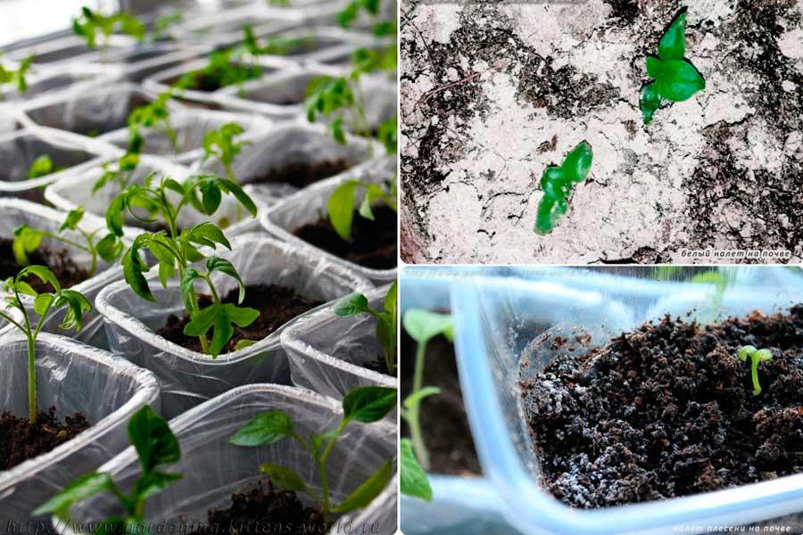 Как убрать белый налет на земле в рассаде