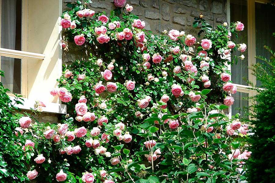 Как укрыть плетистые розы на зиму - способ утепления