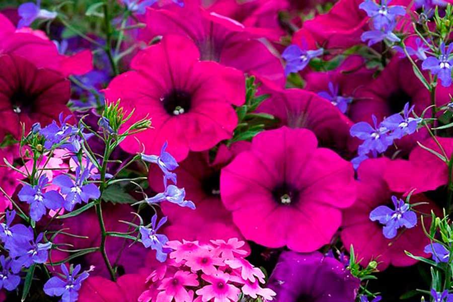 Мелкие семена цветов петунии и лобелии, посадка