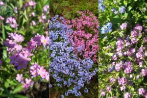 Незабудка розовая — простое выращивание