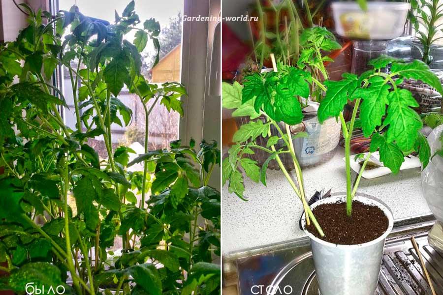 Переросшая рассада помидор до высадки в грунт