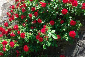 Плетистые розы Рамблеры - отличие от Клаймберов