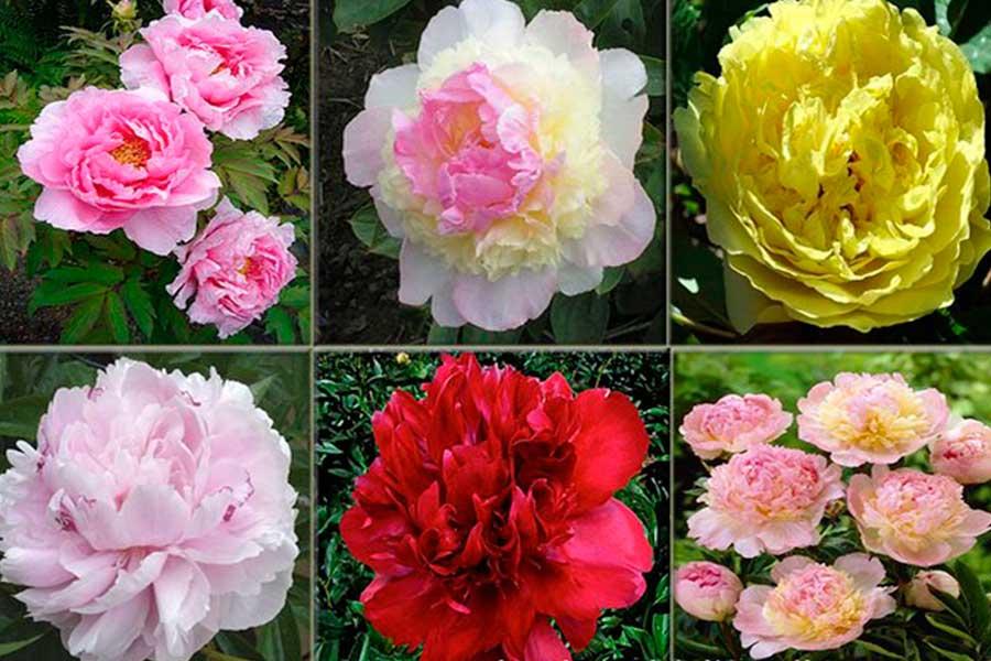 https://gardening-world.ru/chem-otlichaetsja-drevovidnyj-pion-ot-travjanistogo/
