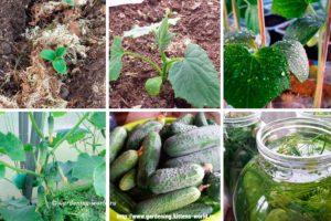 Подкормка огурцов, программа минерального питания на весь вегетационный период