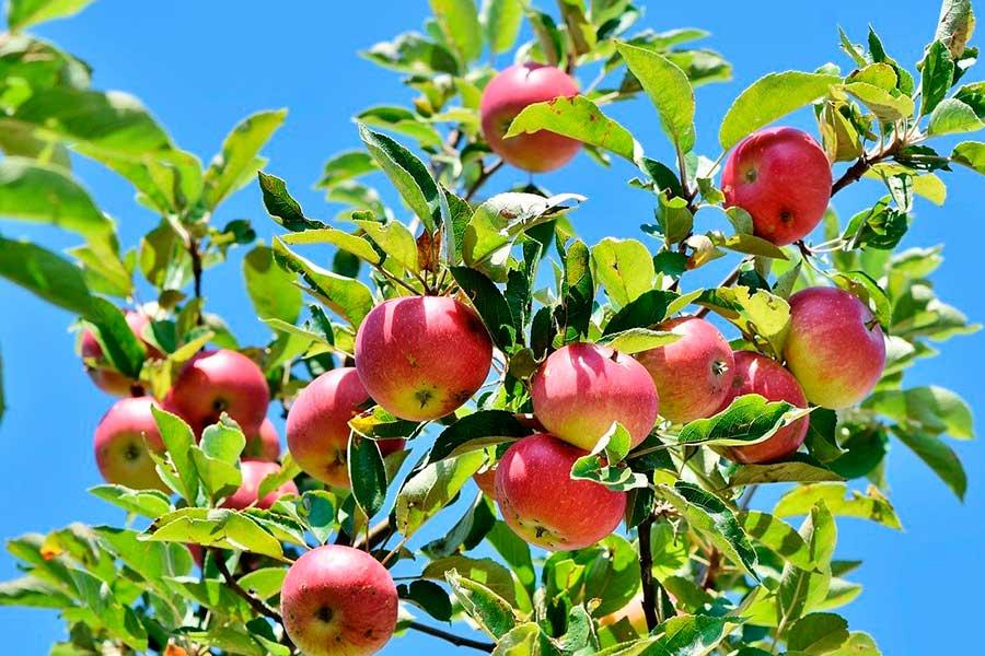 Подкормка яблонь для высокой урожайности