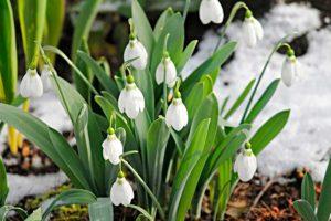 Подснежник - первый весенний цветок 10 фактов о подснежнике