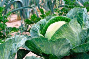 Посадка овощей - когда, как и после чего сажать