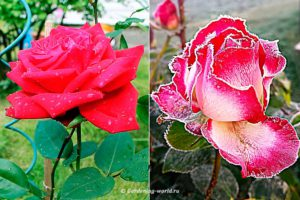 Посадка роз весной и осенью, плюсы и минусы