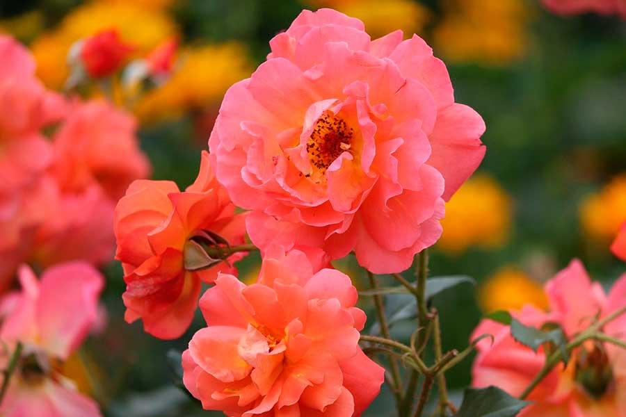 Посадка роз с открытыми корнями