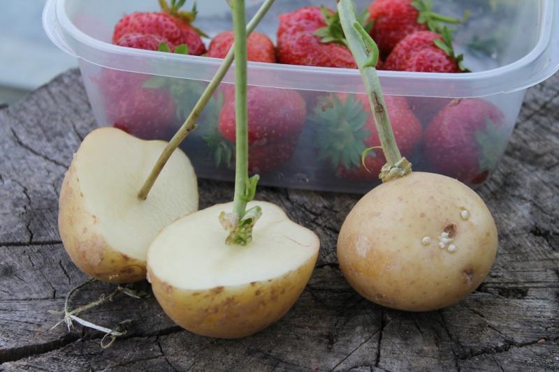 Посадка черенков смородины в картошку