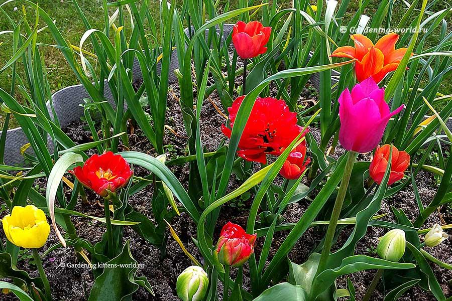 Посадка чеснока и тюльпанов на одной грядке