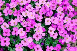 Почвопокровные цветущие растения