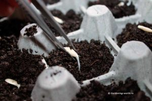 Почему задерживается прорастание семени огурца, видео
