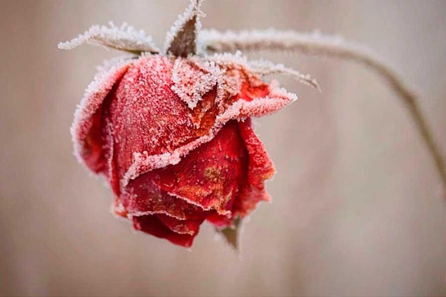 Почему замерзают розы, 7 основных причин