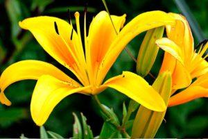 Почему на листьях лилии появились коричневые и ржавые пятна, что делать