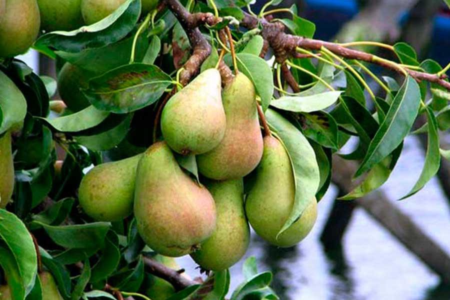 Почему плоды на садовой груше стали жесткие и мелкие