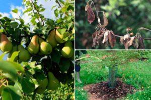 Почему сохнут ветки на груше и как ей помочь