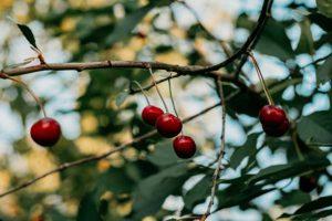 Почему у вишни опадают завязи и что делать